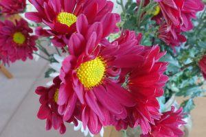 chrysanth-2