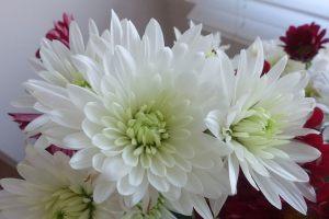 chrysanth-3