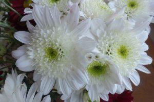 chrysanth-4