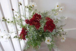 chrysanth-john-riley-cosmos-purity